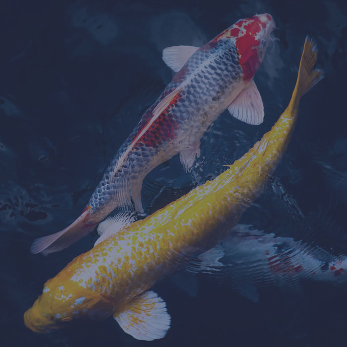 Koi fish symbolize marketing mix